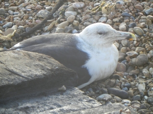 A seagull shelters from the wind on the beach at Hastings